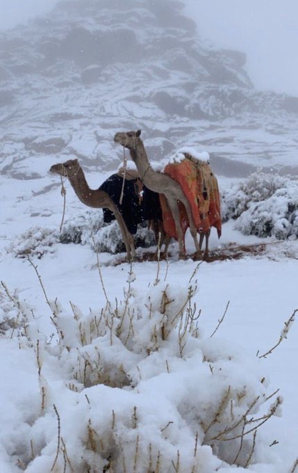 photo:@zaibasi;desc:Camels and snow
